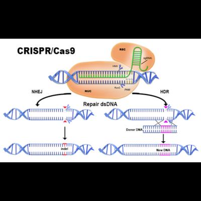 CRISPR/Cas9 kiegészítő egység